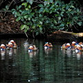 写真: 新宿御苑のオシドリ