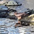 写真: 森戸川の鳶