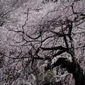 写真: 新宿御苑の枝垂れ桜