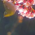 写真: 寒桜とメジロ