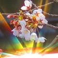 写真: 7色の光と桜