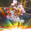 7色の光と桜