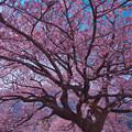 寒桜・3-1