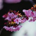 寒桜・4-1
