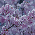 寒桜・6-1