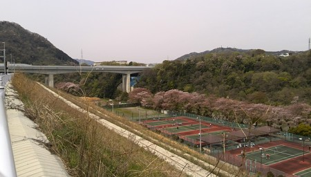 桜にテニス絵になる。