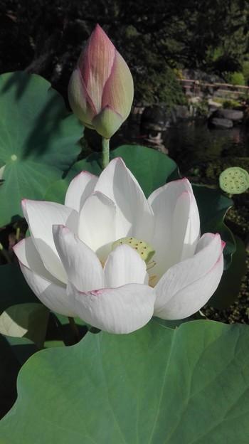蓮の花とつぼみと咲いた後の3世代@長谷寺 鎌倉
