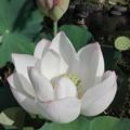 写真: 蓮の花とつぼみと咲いた後の3世代@長谷寺 鎌倉