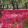 Photos: やっぱりきれいな彼岸花