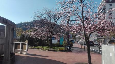 熱海 大寒桜