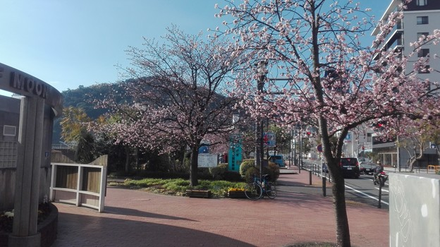 写真: 熱海 大寒桜