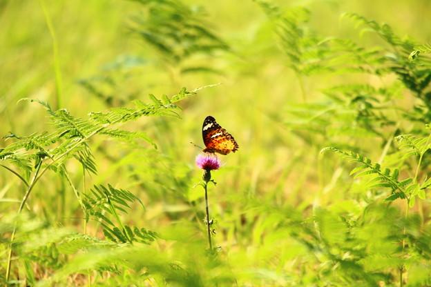 陽に透ける橙の翅