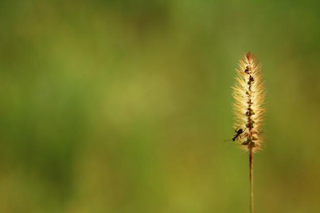 じゃれる蟻