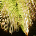 Photos: 嵐山花灯路_竹林の小径