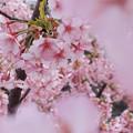 写真: 春色さくらいろ