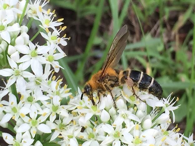 ニラの花と蜂