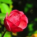 たまには赤いバラもいいかな