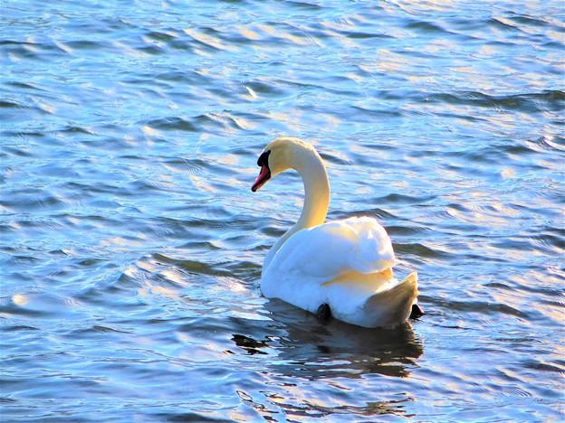 写真: 輝き 白鳥