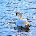輝き 白鳥