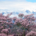 写真: 高遠城址の桜と中央アルプス