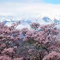 Photos: 高遠城址の桜と中央アルプス