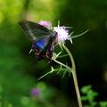 アザミに蝶♪