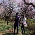 写真: 梅もほぼ満開