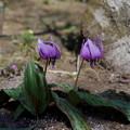 写真: カタクリ咲く♪