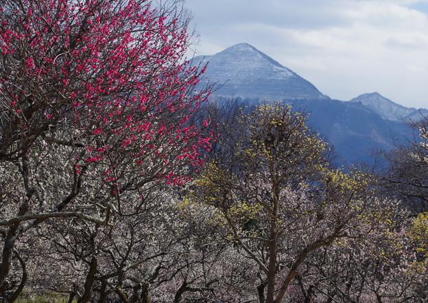写真: 梅薫る