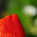 写真: 苺狩り~