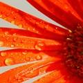 写真: ガーベラ まだ咲いてるよ