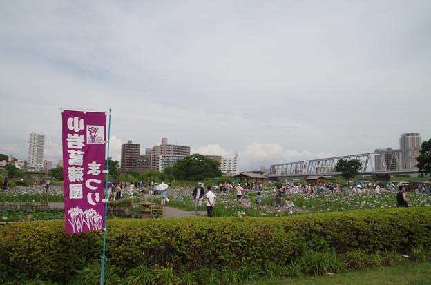 小岩菖蒲園 (1)