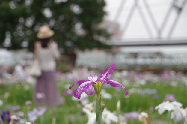 小岩菖蒲園 (14)