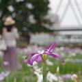 写真: 小岩菖蒲園 (14)