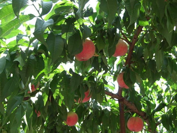 桃の実 3