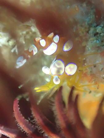 乙女チックイソギンチャク萌エビ(オリンパスTG-3顕微鏡モード)