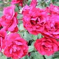 Photos: 赤い小バラ