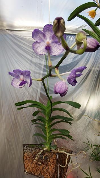 V.coerulea (Dwaef Type × Sibling)
