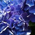 お隣さんの紫陽花