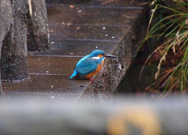 写真: 雨の中のカワちゃん