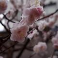 Photos: 梅か桜か