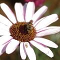 写真: キンセンカにハナバチ