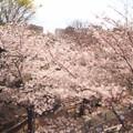 Photos: 桜坂1