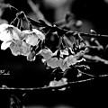 Photos: 雨の桜祭り