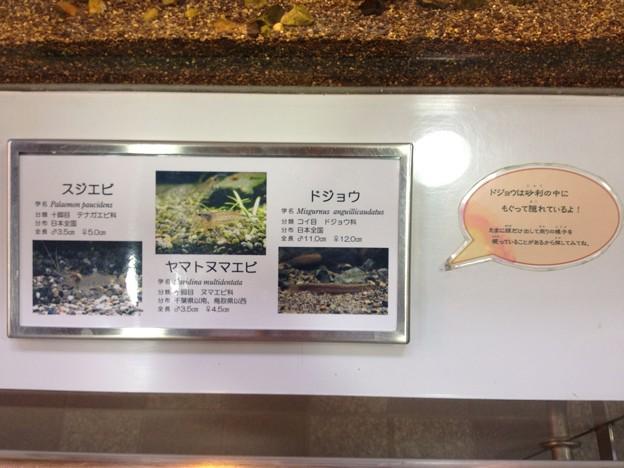 東山動植物園_81:ドジョウ、ヤマトヌマエビ、スジエビ