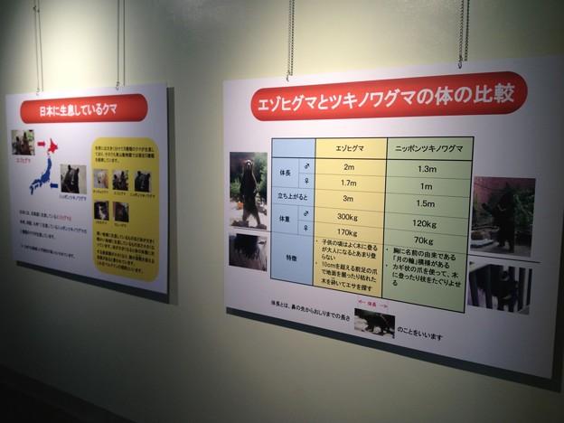 東山動植物園_208:エゾヒクマとツキノワグマの体の比較(クマ舎)
