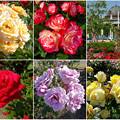 鶴舞公園:様々な色のバラ(2016年5月15日)- 3