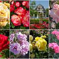 鶴舞公園:様々な色のバラ(2016年5月15日)- 4