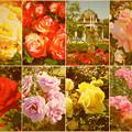 鶴舞公園:様々な色のバラ(2016年5月15日)- 11(フィルター)