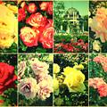 鶴舞公園:様々な色のバラ(2016年5月15日)- 14(フィルター)
